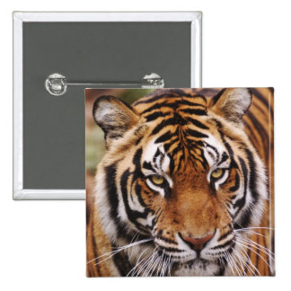 Bengal Tiger, Panthera tigris Button