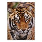 Bengal Tiger, Panthera tigris Card