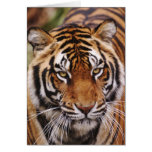 Bengal Tiger, Panthera tigris Greeting Card