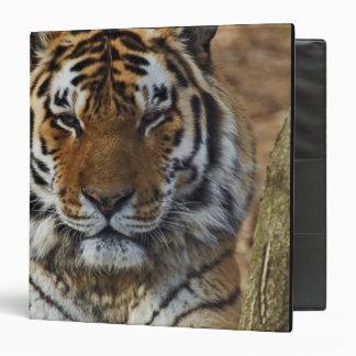Bengal Tiger, Panthera tigris, Louisville Zoo, Binders