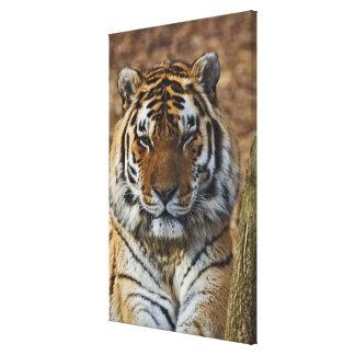 Bengal Tiger, Panthera tigris, Louisville Zoo, Canvas Print