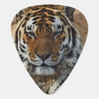 Bengal Tiger, Panthera tigris, Louisville Zoo, Pick