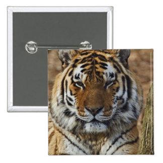 Bengal Tiger, Panthera tigris, Louisville Zoo, Pinback Button