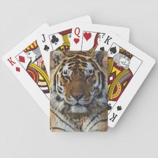 Bengal Tiger, Panthera tigris, Louisville Zoo, Playing Cards