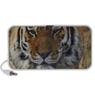 Bengal Tiger, Panthera tigris, Louisville Zoo, Travel Speaker