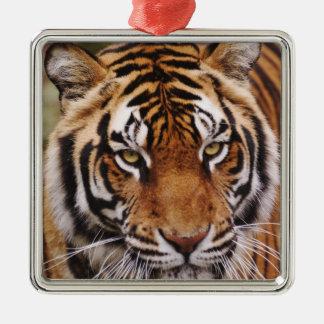 Bengal Tiger, Panthera tigris Christmas Tree Ornament