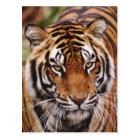 Bengal Tiger, Panthera tigris Postcard