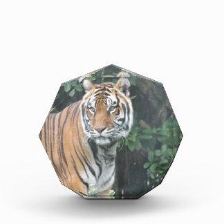 Bengal tiger (Panthera tigris tigris) Acrylic Award