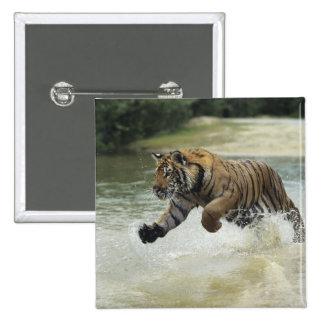 Bengal tiger (Panthera tigris tigris) charging Button