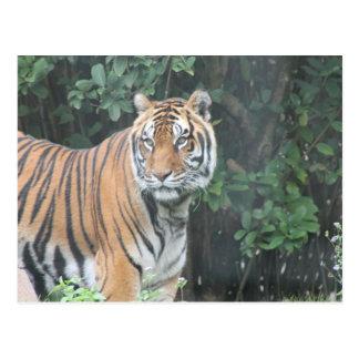 Bengal tiger (Panthera tigris tigris) Postcard