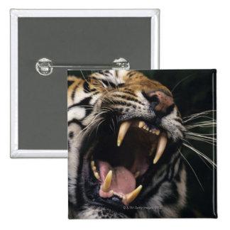 Bengal tiger (Panthera tigris tigris) snarling, Button