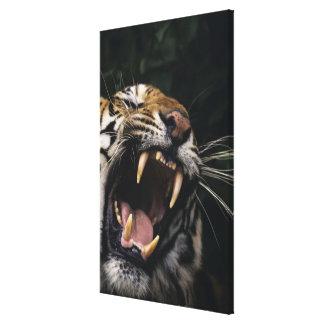 Bengal tiger (Panthera tigris tigris) snarling, Canvas Print