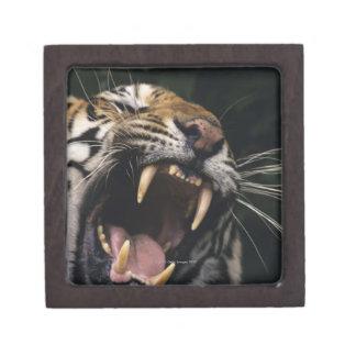 Bengal tiger (Panthera tigris tigris) snarling, Jewelry Box