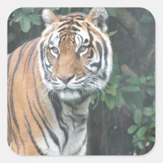 Bengal tiger (Panthera tigris tigris) Square Sticker