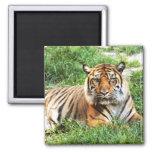 Bengal Tiger Photograph Magnet