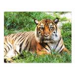 Bengal Tiger Photograph Post Card