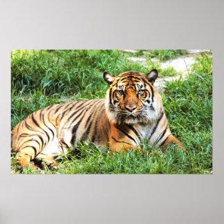 Bengal Tiger Photograph Print