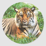 Bengal Tiger Photograph Stickers
