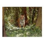 Bengal Tiger Postcard (7x5)