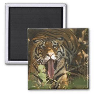 Bengal tiger resting, yawning fridge magnet