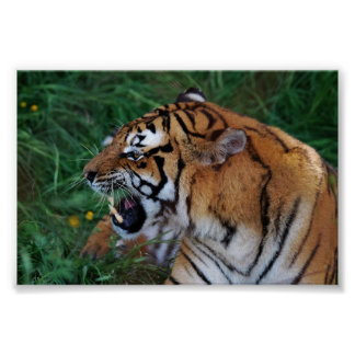 Bengal Tiger showing its fangs Poster