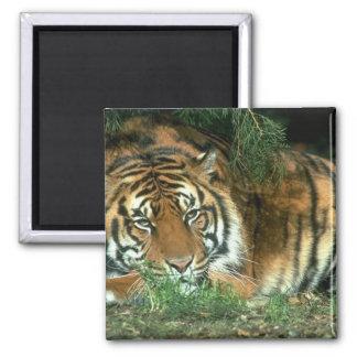 Bengal Tiger Square Magnet Refrigerator Magnet