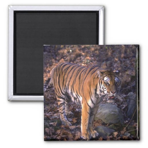 Bengal Tiger standing in forest glade 2 Inch Square Magnet