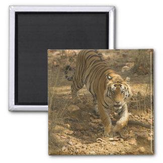 Bengal Tiger walking Magnets