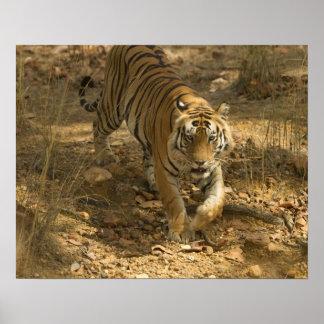 Bengal Tiger walking Print