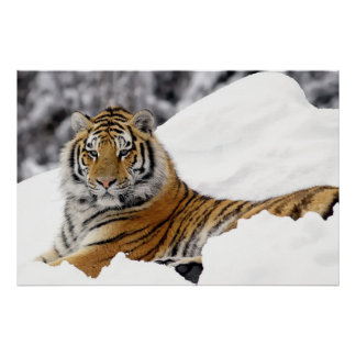 Bengal Tiger watching you from on the snow Poster