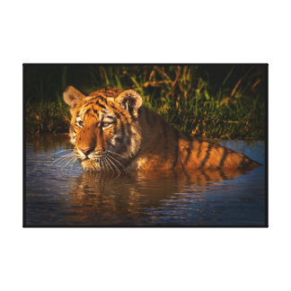 Bengal Tiger watching you from the water Wrapped Canvas Print