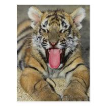 Bengal tiger yawning postcard