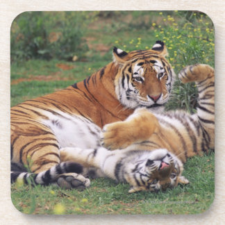 Bengal tigers playing drink coaster