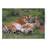 Bengal tigers playing greeting card