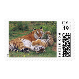 Bengal tigers playing postage