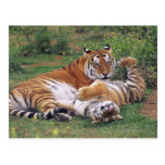 Bengal tigers playing postcard