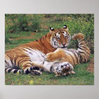 Bengal tigers playing print