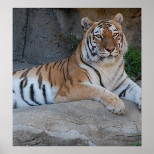 Bengal Tigers Print