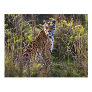 Bengal tigress in tall grass, trying to hunt, postcard