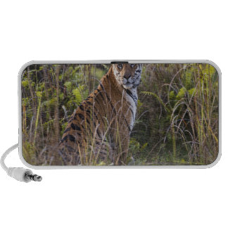 Bengal tigress in tall grass, trying to hunt, laptop speaker