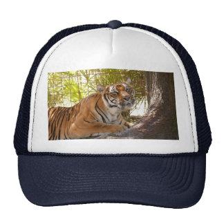 Bengalí 003 del tigre gorro