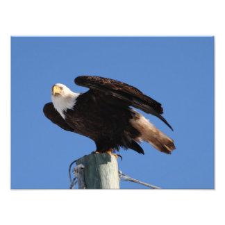 BEOUP Bald Eagle on Utility Pole Photo