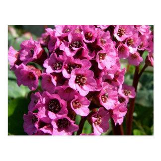 Bergenia Blossom; No Text Postcard
