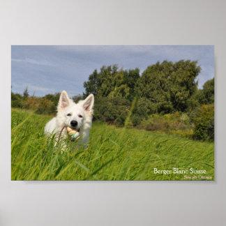 Berger Blanc Suisse perro pastor blanco póster