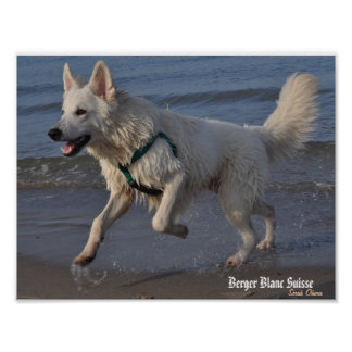 Berger Blanc Suisse to Rostock beach Poster