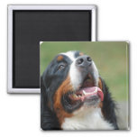 Berner Sennenhund Dog Magnet Refrigerator Magnets