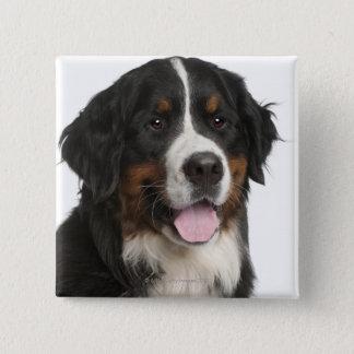 Bernese Mountain Dog (1 year old) Button