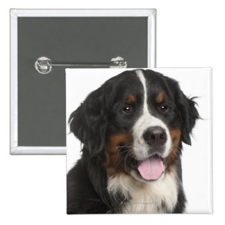 Bernese Mountain Dog (1 year old) Button