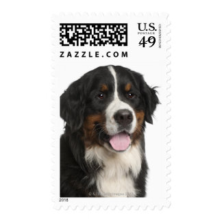 Bernese Mountain Dog (1 year old) Stamps