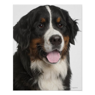 Bernese Mountain Dog (1 year old) Poster